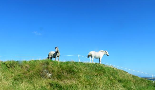 Connemara Ponies, Renvyle, Ireland
